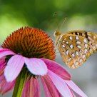 Aphrodite Fritillary